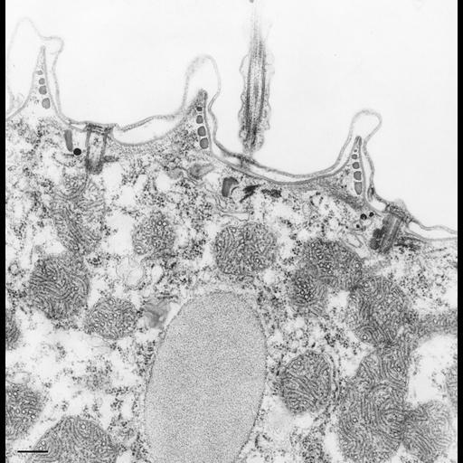 NCBI Organism:Paramecium caudatum; Cell Types:cell by organism, eukaryotic cell, , ; Cell Components:cell cortex, cilium, , ; Biological process:cortical cytoskeleton organization, cytoplasm organization;