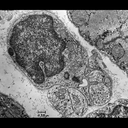 NCBI Organism:Rattus; Cell Types:non-myelinating Schwann cell, ; Cell Components:nucleus, mitochondrion, synaptic vesicle;