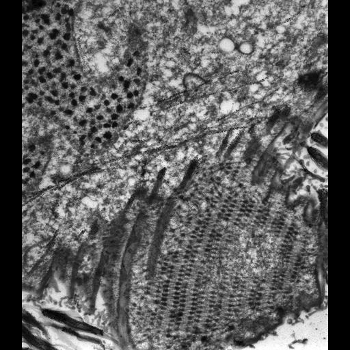 NCBI Organism:Paramecium tetraurelia; Cell Types:cell by organism, eukaryotic cell, , ; Cell Components:cell cortex, cortical microtubule cytoskeleton, cortical microtubule, oral apparatus, macronucleus; Biological process:microtubule cytoskeleton organization, oral apparatus organization, macronucleus organization;