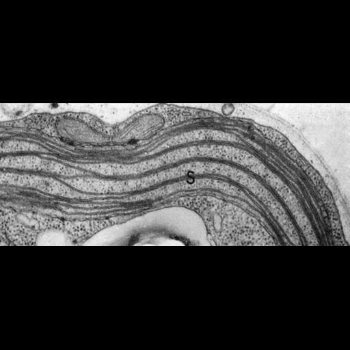NCBI Organism:Chlamydomonas reinhardtii; Cell Components:chloroplast, plastid, plastid thylakoid membrane; Biological process:photosynthesis, organelle organization;