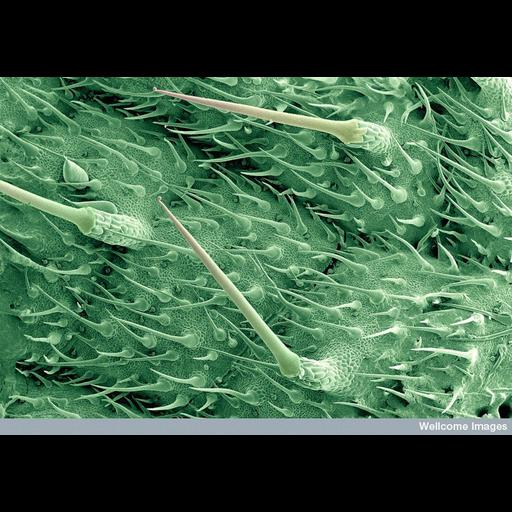 NCBI Organism:Urtica dioica; Biological process:leaf morphogenesis
