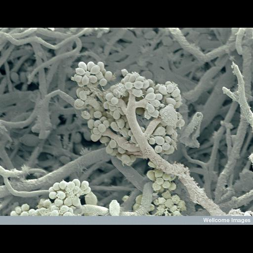 NCBI Organism:Rhizopus; Cell Components:cell surface