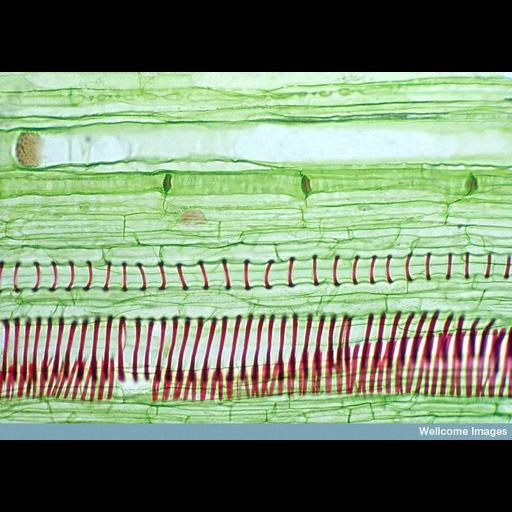 NCBI Organism:Cucurbita; Cell Types:plant cell, , ; Biological process:xylem and phloem pattern formation