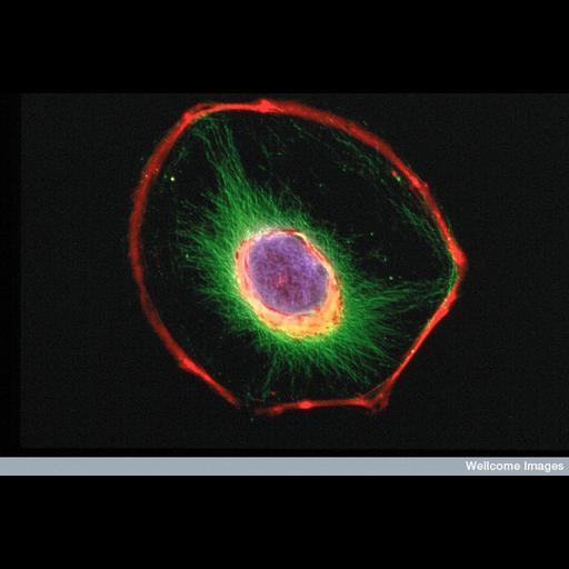 NCBI Organism:Mus musculus; Cell Types:fibroblast Cell Components:intermediate filament cytoskeleton, actin cytoskeleton, nucleus; Biological process:cytoskeleton organization