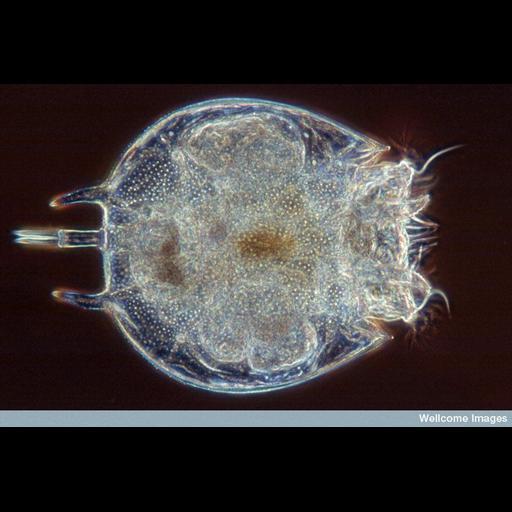 NCBI Organism:Platyias quadricornis; Cell Components:, ;