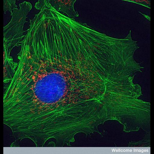 NCBI Organism:Bos taurus; Cell Types:blood vessel endothelial cell Cell Components:mitochondrion, actin filament, nucleus; Biological process:cytoskeleton organization, mitochondrion organization;