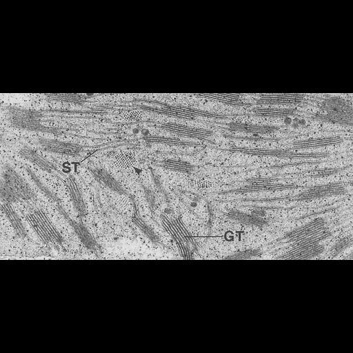 NCBI Organism:Triticum sp.; Cell Components:chloroplast, plastid thylakoid membrane, granum; Biological process:photosynthesis, organelle organization;