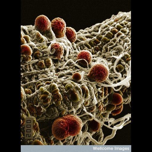 NCBI Organism:Plasmodium yoelii nigeriensis, Anopheles stephensi, ;