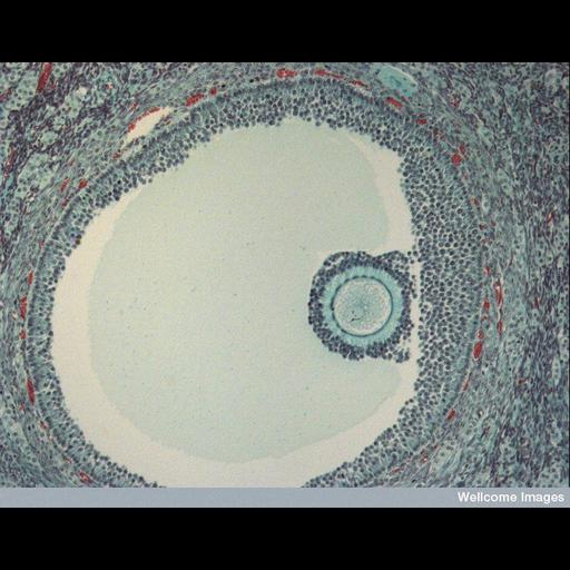 Cell Types:oocyte, follicle cell; Biological process:antral ovarian follicle growth, mature follicle stage;