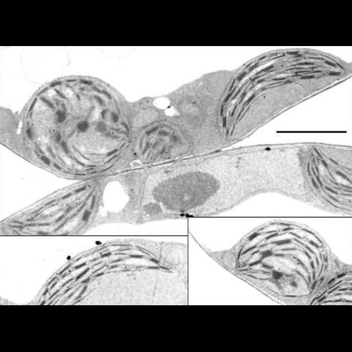 NCBI Organism:Arabidopsis thaliana; Cell Components:chloroplast, plastid thylakoid, granal stacked thylakoid, plastid part; Biological process:, plastid organization;