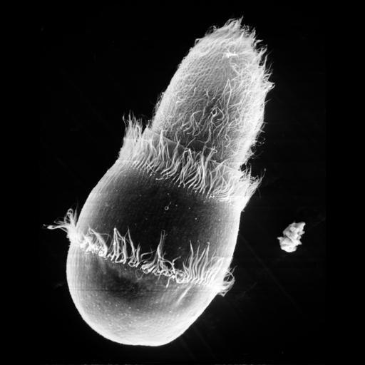 NCBI Organism:Didinium nasutum, Paramecium sp., ; Cell Types:cell by organism, eukaryotic cell, , ; Cell Components:oral apparatus, cell cortex, cell surface; Biological process:phagocytosis, phagocytosis, engulfment;