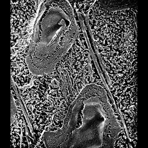 NCBI Organism:Paramecium multimicronucleatum; Cell Types:cell by organism, eukaryotic cell, , ; Cell Components:pellicle, cell cortex; Biological process:endomembrane system organization, cortical cytoskeleton organization;