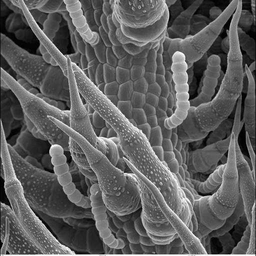 NCBI Organism:Helianthus annuus;