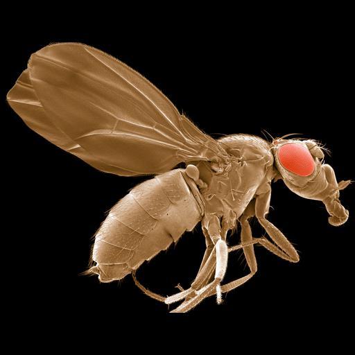 NCBI Organism:Drosophila melanogaster; Biological process:, age-dependent response to oxidative stress, cellular response to oxidative stress;