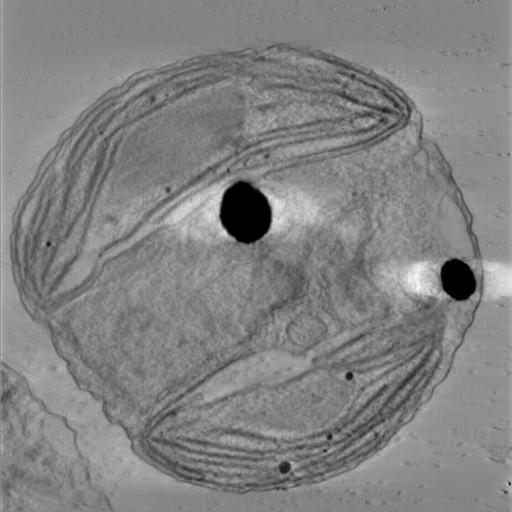 NCBI Organism:Phaeocystis antarctica; Cell Components:thylakoid, chloroplast; Biological process:photosynthetic electron transport chain, thylakoid membrane organization, chloroplast organization, plastid organization;