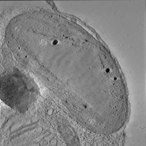 NCBI Organism:Phaeocystis antarctica; Cell Components:thylakoid, chloroplast; Biological process:photosynthetic electron transport chain, thylakoid membrane organization;