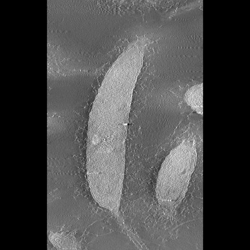 NCBI Organism:Caulobacter crescentus CB15;