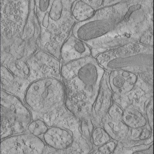 NCBI Organism:Rattus norvegicus; Cell Components:synapse, synaptic vesicle, presynaptic active zone;