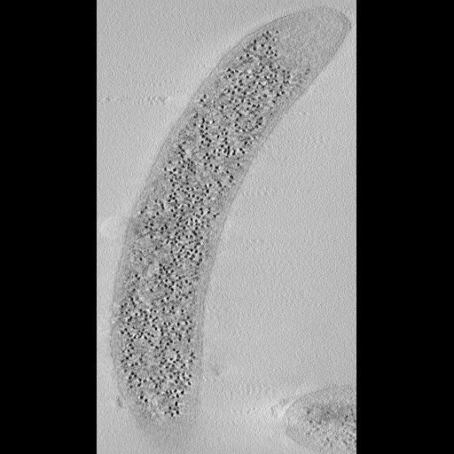 NCBI Organism:Caulobacter crescentus NA1000;