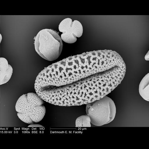 NCBI Organism:Lilium longiflorum; Cell Components:pollen wall Biological process:pollen wall assembly