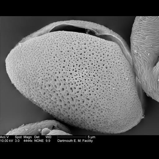 NCBI Organism:Allium; Cell Components:pollen wall Biological process:pollen wall assembly