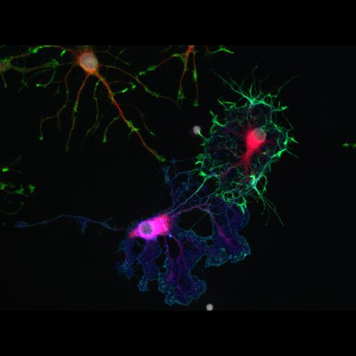 NCBI Organism:Rattus norvegicus; Cell Types:oligodendrocyte Cell Components:actin cytoskeleton, microtubule, nucleus, ; Biological process:oligodendrocyte development