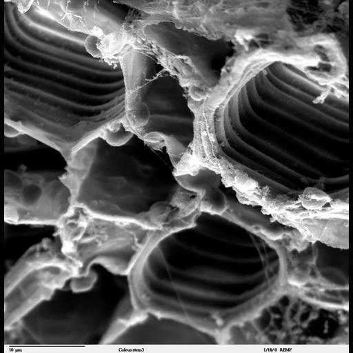 NCBI Organism:Solenostemon scutellarioides;