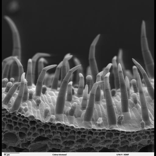NCBI Organism:Solenostemon scutellarioides; Cell Types:epidermal cell Biological process:epidermis morphogenesis