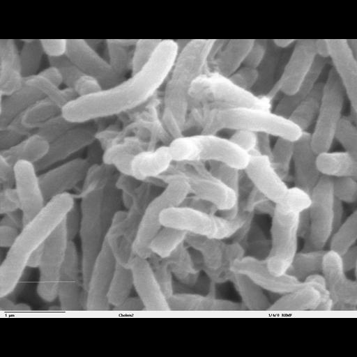 NCBI Organism:Vibrio cholerae; Cell Components:cell surface Biological process:bacterial cell surface binding