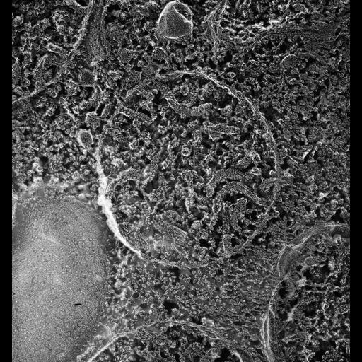 NCBI Organism:Paramecium multimicronucleatum; Cell Types:cell by organism, eukaryotic cell, , ; Cell Components:mitochondrion, mitochondrial membrane; Biological process:mitochondrion organization