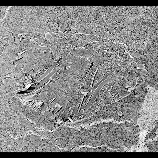 NCBI Organism:Paramecium multimicronucleatum; Cell Types:cell by organism, eukaryotic cell, , ; Cell Components:pre-autophagosomal structure membrane, vesicle membrane, oral apparatus; Biological process:oral apparatus organization, membrane to membrane docking;