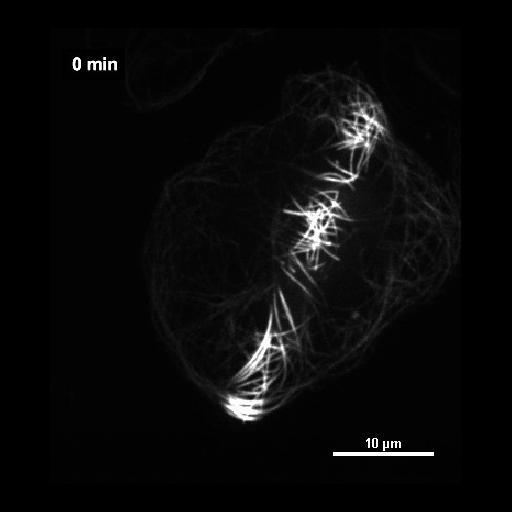 NCBI Organism:Drosophila melanogaster; Cell Components:microtubule, cytoskeleton; Biological process:microtubule cytoskeleton organization, ;