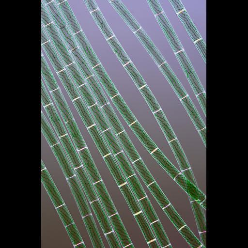 NCBI Organism:Spirogyra; Cell Components:cell surface
