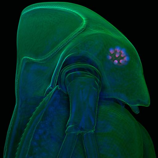 NCBI Organism:Daphnia atkinsoni; Cell Components:nucleus, ;