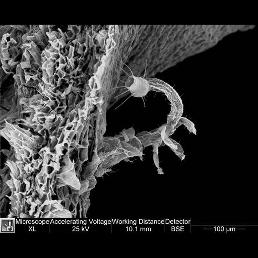 NCBI Organism:Alcea rosea;