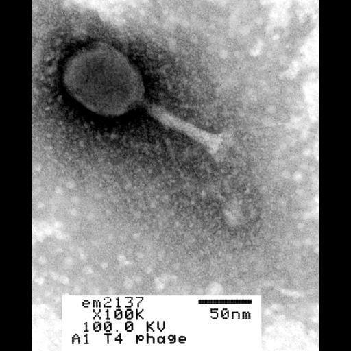 NCBI Organism:Enterobacteria phage T4; Cell Components:, , ;