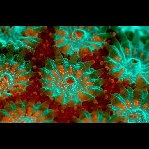 NCBI Organism:Montastraea annularis, , ;