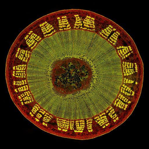 NCBI Organism:Tilia;