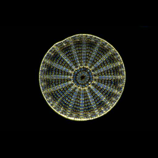 NCBI Organism:Bacillariophyta;