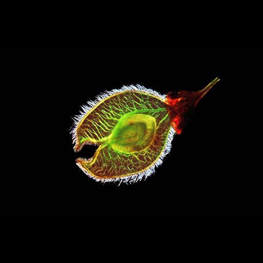 NCBI Organism:Ulmus americana;
