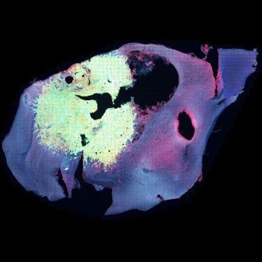 NCBI Organism:Mus musculus castaneus;