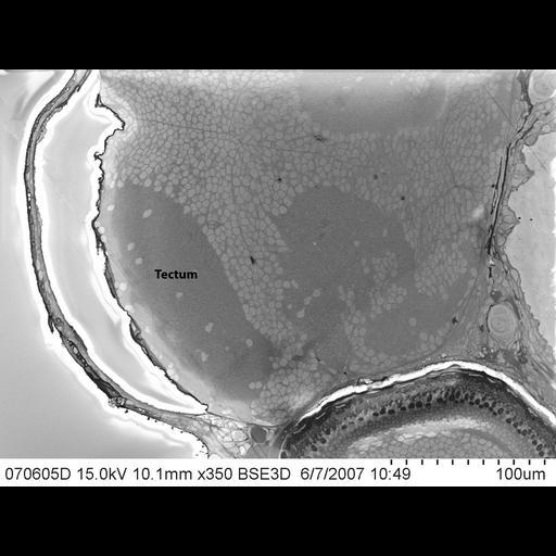 NCBI Organism:Danio rerio; Biological process:tectobulbar tract morphogenesis
