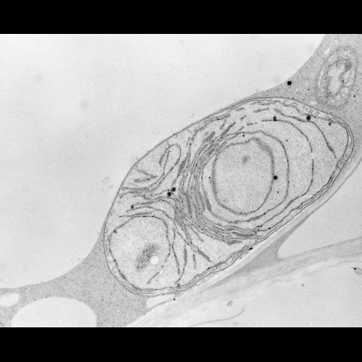 NCBI Organism:Zea mays; Cell Types:photosynthetic cell Cell Components:chloroplast, etioplast, plastid part; Biological process:C4 photosynthesis, plastid organization, chloroplast organization, etioplast organization;