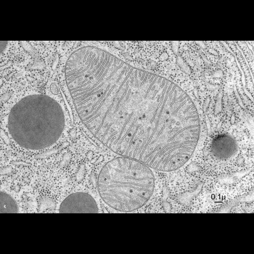 NCBI Organism:Chiroptera; Cell Components:mitochondrial crista, mitochondrial intracristal space, mitochondrial outer membrane, mitochondrion, rough endoplasmic reticulum; Biological process:cellular respiration
