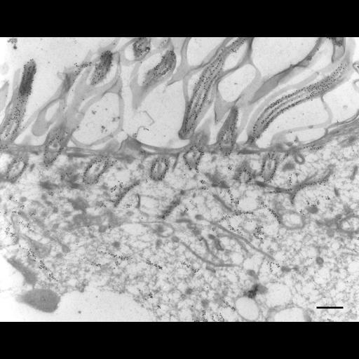 NCBI Organism:Paramecium tetraurelia; Cell Types:cell by organism, eukaryotic cell, , ; Cell Components:cell cortex, oral apparatus, cortical microtubule, microtubule basal body, axonemal microtubule; Biological process:microtubule cytoskeleton organization, oral apparatus organization;