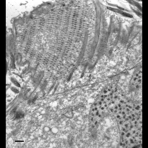 NCBI Organism:Paramecium tetraurelia; Cell Types:cell by organism, eukaryotic cell, , ; Cell Components:oral apparatus, cortical microtubule cytoskeleton, macronucleus, cytoplasm; Biological process:microtubule cytoskeleton organization, oral apparatus organization, macronucleus organization;