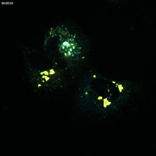 NCBI Organism:Rattus; Cell Types:permanent cell line cell Cell Components:Golgi apparatus, endoplasmic reticulum-Golgi intermediate compartment; Biological process:constitutive secretory pathway